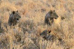 Een groep leeuwen royalty-vrije stock foto's