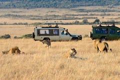 Een groep leeuwen royalty-vrije stock fotografie