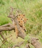 Een groep leeuwwelpen Royalty-vrije Stock Fotografie