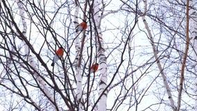 Een groep mannelijke goudvinkenvogels zit op een tak van de berkboom en kijkt rond stock footage