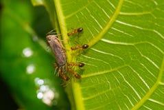 Een groep Mieren cahtch het insect op het groene blad Stock Fotografie