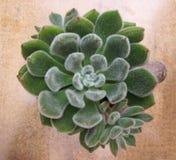 Een groep Miniatuur succulente installaties - uitstekende effect stijl Royalty-vrije Stock Foto's