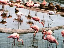 Een groep mooie roze flamingo's stock foto