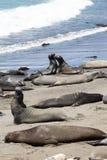 Een groep olifantsverbindingen rust op het Vreedzame Oceaanstrand, Calif stock foto's