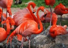 Een groep oranje flamingo's royalty-vrije stock foto