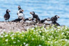 Een groep papegaaiduikers in de Farne-Eilanden Stock Foto's