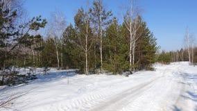 Een groep pijnbomen en berken tegen de blauwe hemel Stock Foto