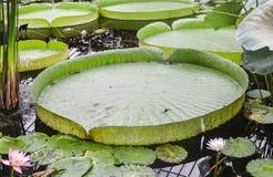 Een groep reuze groene waterlelie die in water drijven stock foto