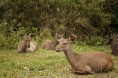 Een Groep Sambar-Herten Stock Fotografie