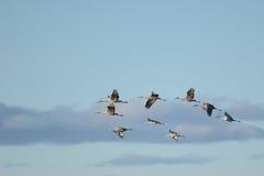 Een groep Sandhill-Kranen tijdens de vlucht Royalty-vrije Stock Fotografie