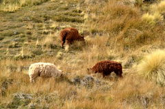 Een groep schapen Royalty-vrije Stock Foto's