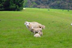 Een groep schapen, Catlins, Zuideneiland, Nieuw Zeeland stock fotografie