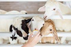 Een groep sheeps probeert te krijgen feeded stock foto's