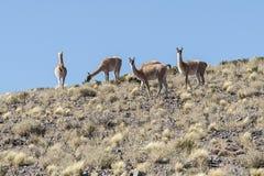Een groep wilde vicunavoorvader van de lama en de alpaca in hoge altiplano van Chili stock foto's