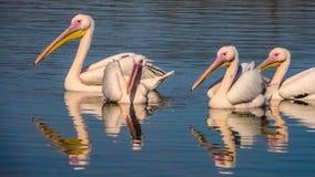 Een groep witte pelikanen drijft Stock Afbeeldingen