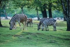 Een groep zebras het eten Royalty-vrije Stock Foto's