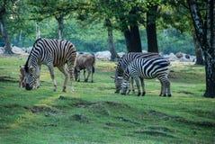 Een groep zebras het eten Stock Foto