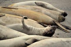 Een groep zeeleeuwen Stock Foto