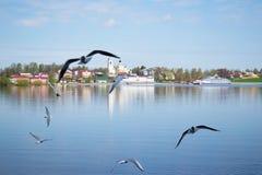 Een groep zeemeeuwen die over de rivier Volga dichtbij de stad van Myshkin vliegen (Rusland) Royalty-vrije Stock Afbeeldingen