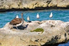 Een groep Zeemeeuwen en een Pelikaan op een grote rots in een Caraïbische overzeese lagune Stock Afbeeldingen