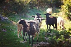 Een groep zwart-witte schapen die naar een vergadering langs de weg gaan die de camera bekijken, die door de zon wordt aangestoke Stock Foto