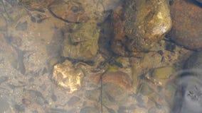Een groeps kleine kikkervisjes stock footage