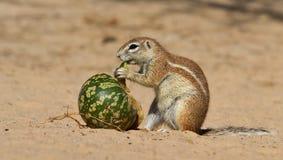 De eekhoorn die van de grond pompoen eet stock foto