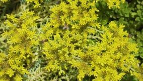 Een groot aantal Europese bijen bestuift gele bloemen en vliegt van bloem aan bloem stock footage