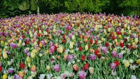 Een groot bloembed en kleurrijke tulpen in het Keukenhof-park Kraanschot stock video