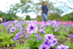 Een groot gebied van de zoete purpere bloesem van de petuniabloem in een bed bij het park met vertroebelde een wijfje die in het  stock fotografie