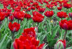Een groot gebied van heldere rode tulpen met groene stammen stock foto's