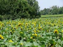 Een groot gebied van mooie zonnebloemen Royalty-vrije Stock Foto