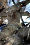 Een groot Hertog Amerika bij dierentuin stock foto's