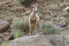 Een groot groot hoornschaap die zich op rotsen bevinden Stock Afbeelding