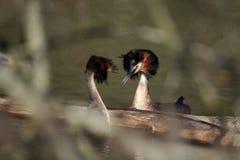 Een Groot kuiffuutpaar in een vrijagevertoning stock afbeelding