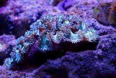 Een groot marien weekdier ligt op de bodem van het koraal en het zand in het duidelijke water stock foto's