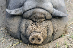 Een groot Vietnamees Vietnamees varken kan niet lange tijd lopen en ziet slechts een kom Stock Foto