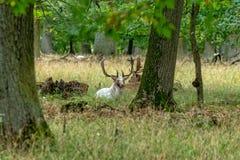 Een groot wit Hert in de wildernis royalty-vrije stock afbeelding