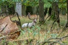 Een groot wit Hert in de wildernis stock fotografie