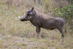Een groot wrattenzwijn met grote slagtanden Stock Foto's