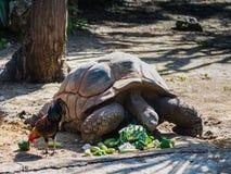 Een grote aarden schildpad eet ter plaatse verspreide groenten stock fotografie