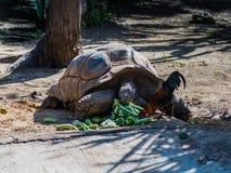 Een grote aarden schildpad eet ter plaatse verspreide groenten stock foto