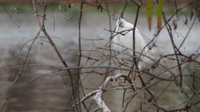 Een grote aigrette bevindt zich op een boomtak door een meer dichtbij de Universiteit van de Staat van Louisiane stock footage