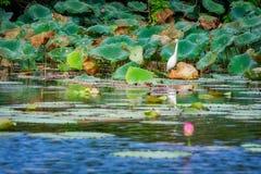Een Grote Aigrette binnen - tussen lotuses in Corroboree Billabong op Noordelijk Grondgebied, Australië Royalty-vrije Stock Afbeeldingen