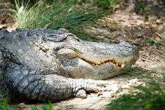 Een grote alligator die op een bank rusten stock afbeelding