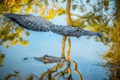 Een grote Amerikaanse Alligator in Orlando, Florida royalty-vrije stock afbeeldingen