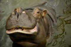 Een grote Behemoth Nijlpaard met open mond in water royalty-vrije stock foto