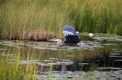 Een Grote Blauwe Reiger die in een moeras vliegen stock afbeeldingen