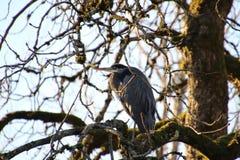 Een Grote blauwe Reiger streek in een boom neer stock fotografie