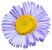 Een grote bloem Stock Afbeelding